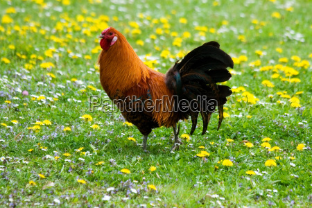 rooster on a flower meadow