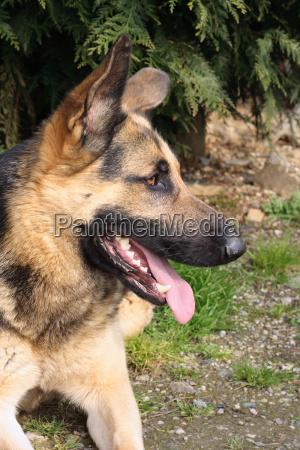 german, shepherd - 2542907