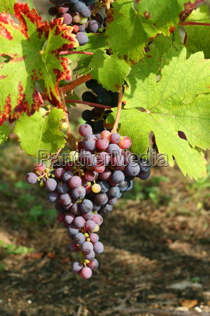 purple, grapes, detail - 2543175