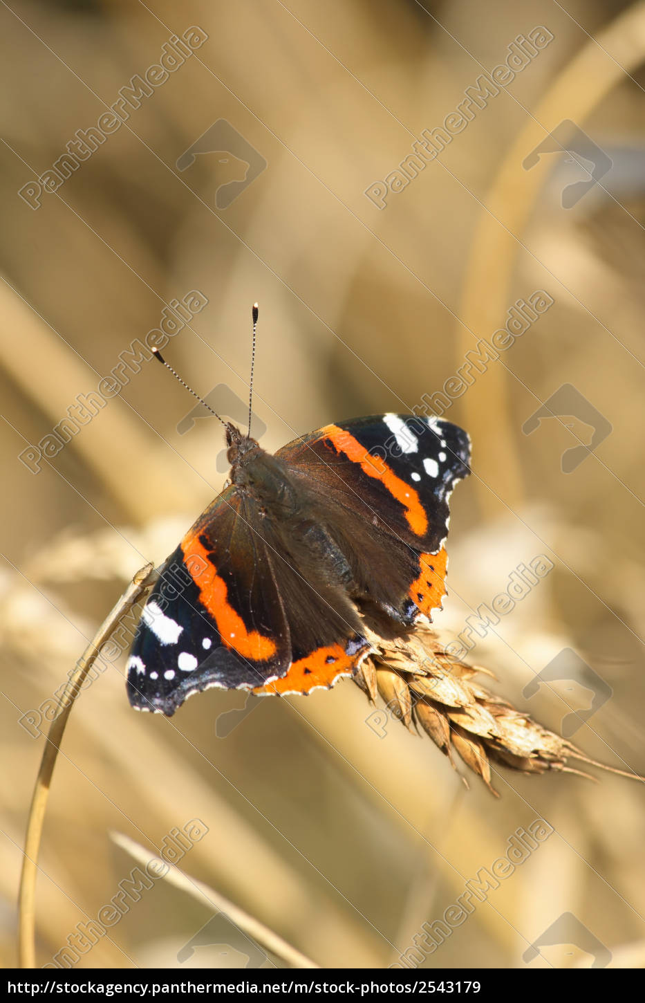 red, admiral - 2543179
