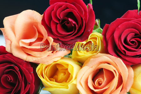 red yellow and peach color roses