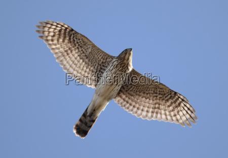 juvenile coopers hawk in flight