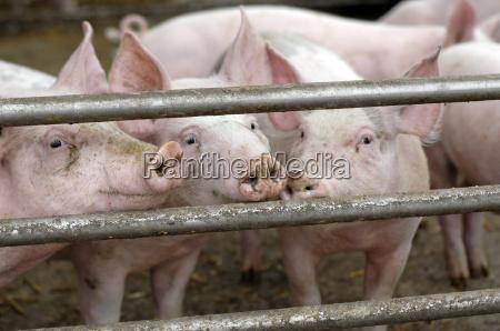 curious pigs on a farm waiting