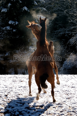 horses dancing in the snow