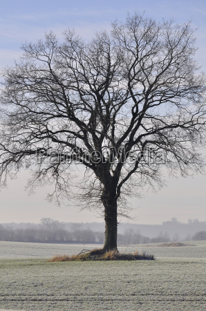 rotbuche im winter fagus sylvatica