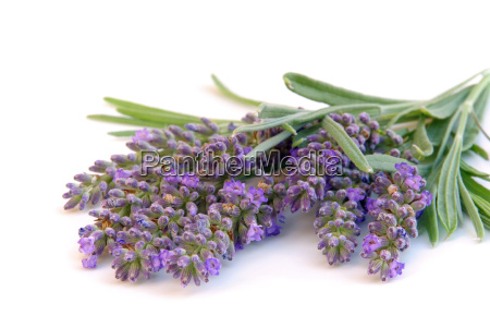 lavender exempted lavender isolated 03
