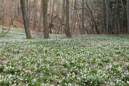 leucojum spring