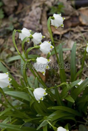 spring snowflake spring