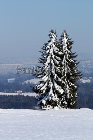 fir in snow