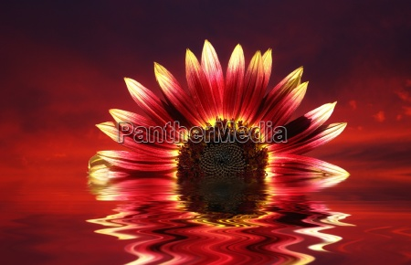 sunflower as sunset