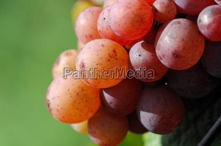 grape gewuerztraminer