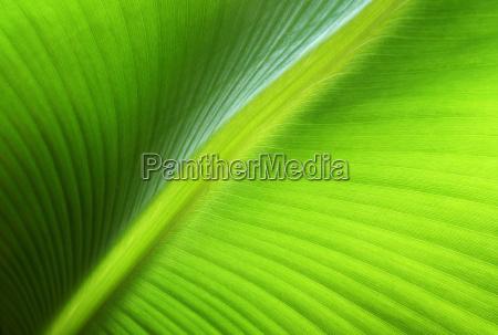 leaf of a banana tree