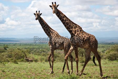 curious nosey nosy africa kenya savannah