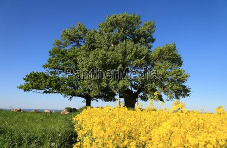 oak and black poplar in spring