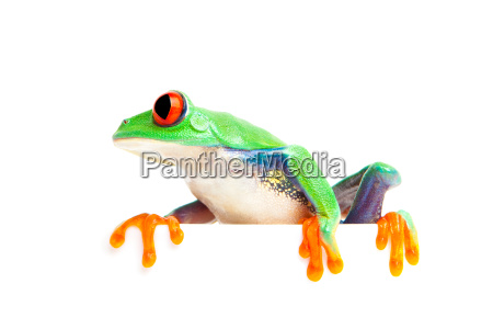 Frog on edge isolated white royalty free photo for Frog agency
