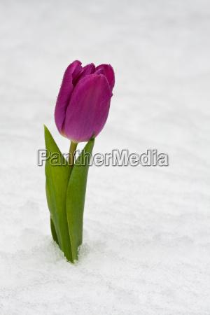 purple tulip in fresh snow