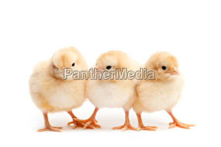 three cute chicks isolated on white