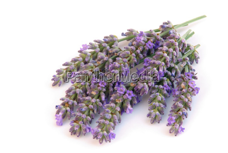 lavender isolated lavender isolated 01