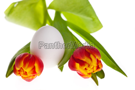 egg and tulips in spring