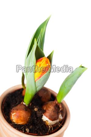 tulpen in einem blumentopf