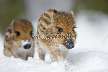 freshlings, in, the, snow - 2786217