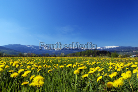 mountain spring meadow full of flowers