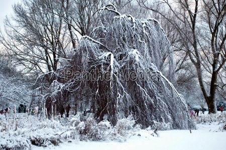 weeping willow in winter