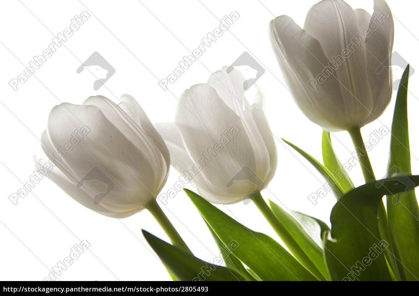 white, tulips - 2805493