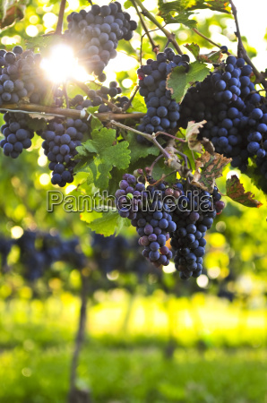 purple, grapes - 2806811