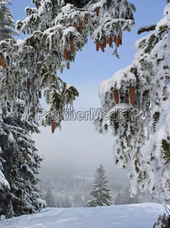 tree trees branches firs winter landscape