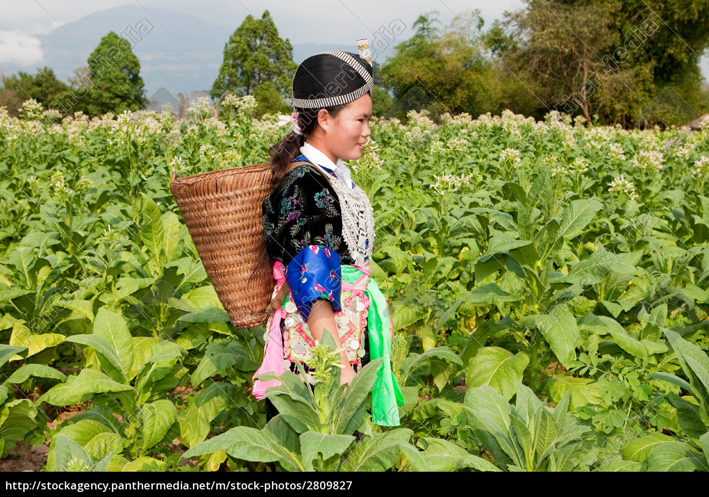 hmong, of, asia, harvests, tobacco - 2809827