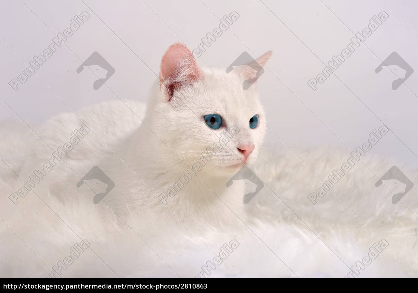 white, cat, with, blue, eyes - 2810863