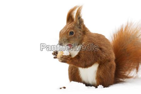 winter squirrel 7
