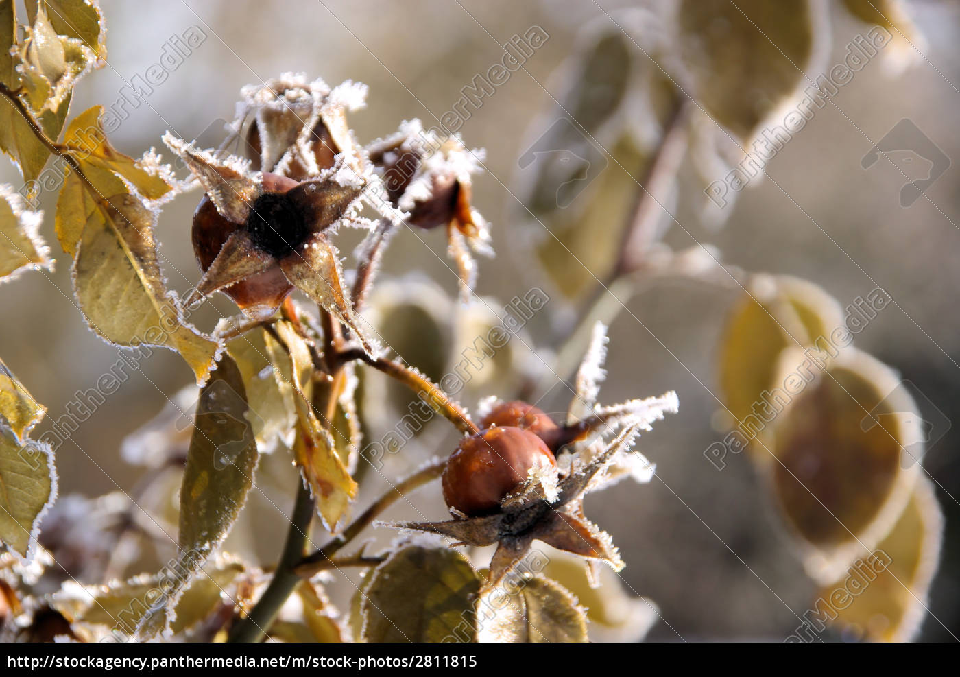 rosehip, in, winter, -, hip, in - 2811815