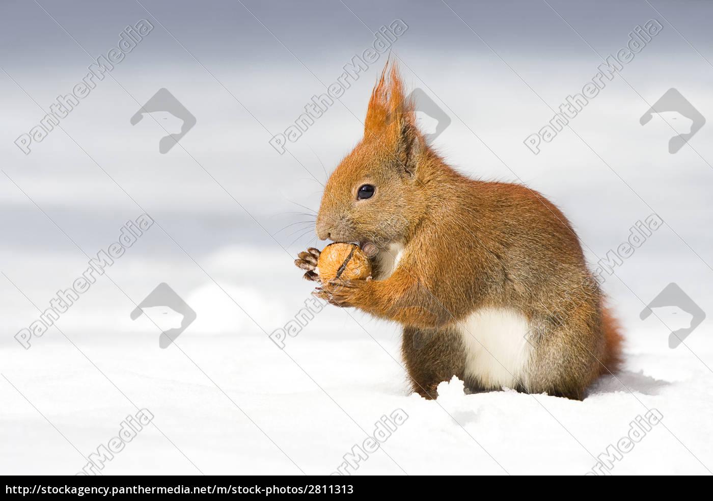 winter, squirrel, -1- - 2811313