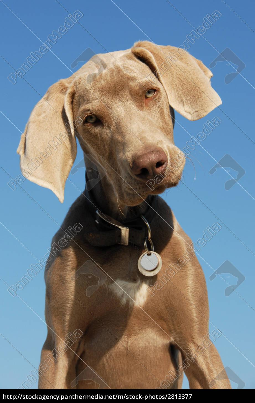puppy, weimaraner - 2813377