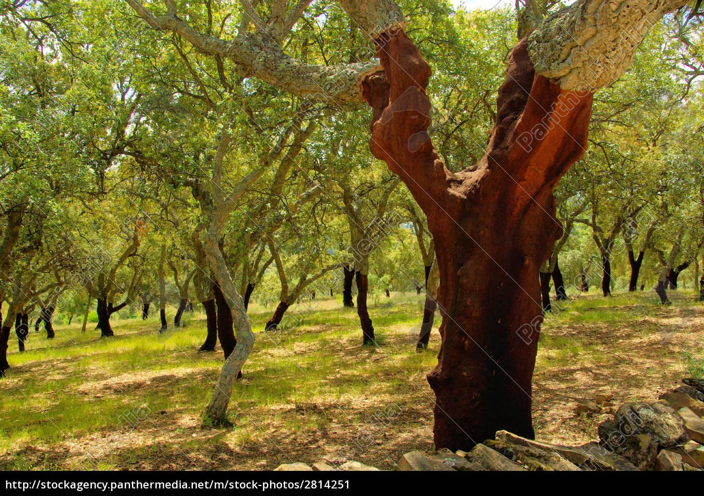 cork, -, cork, oak, 54 - 2814251