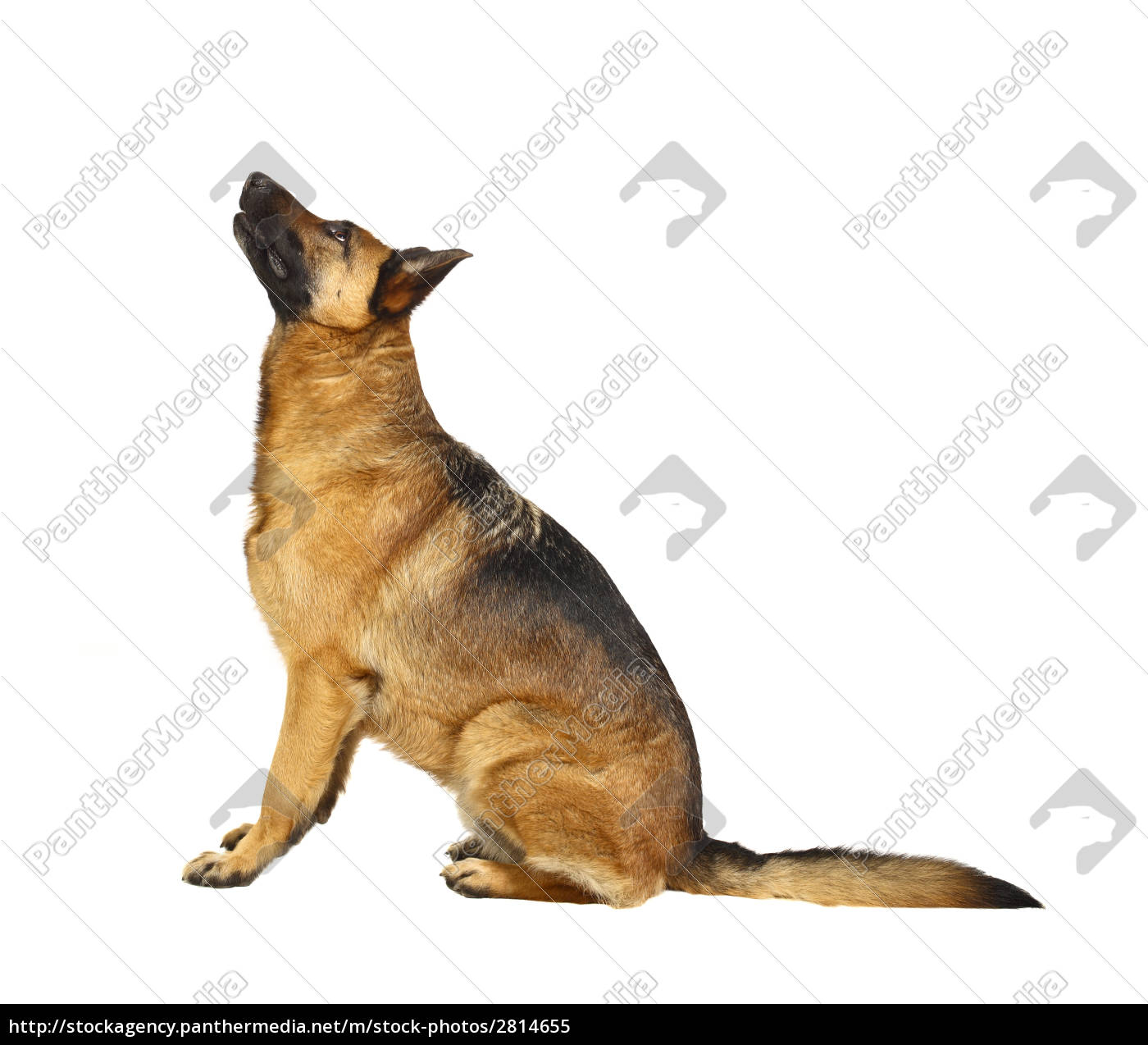german, shepard, portrait - 2814655