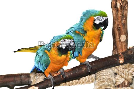 blue, bird, parrots, couple, gold, yellow - 2817167