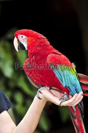 scarlet, macaw - 2817165