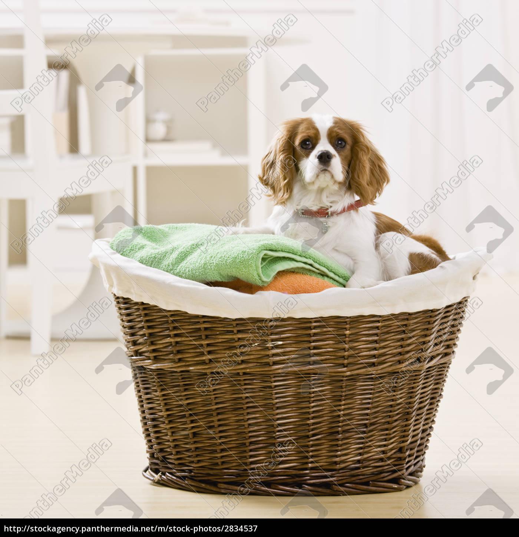 dog, in, laundry, basket - 2834537