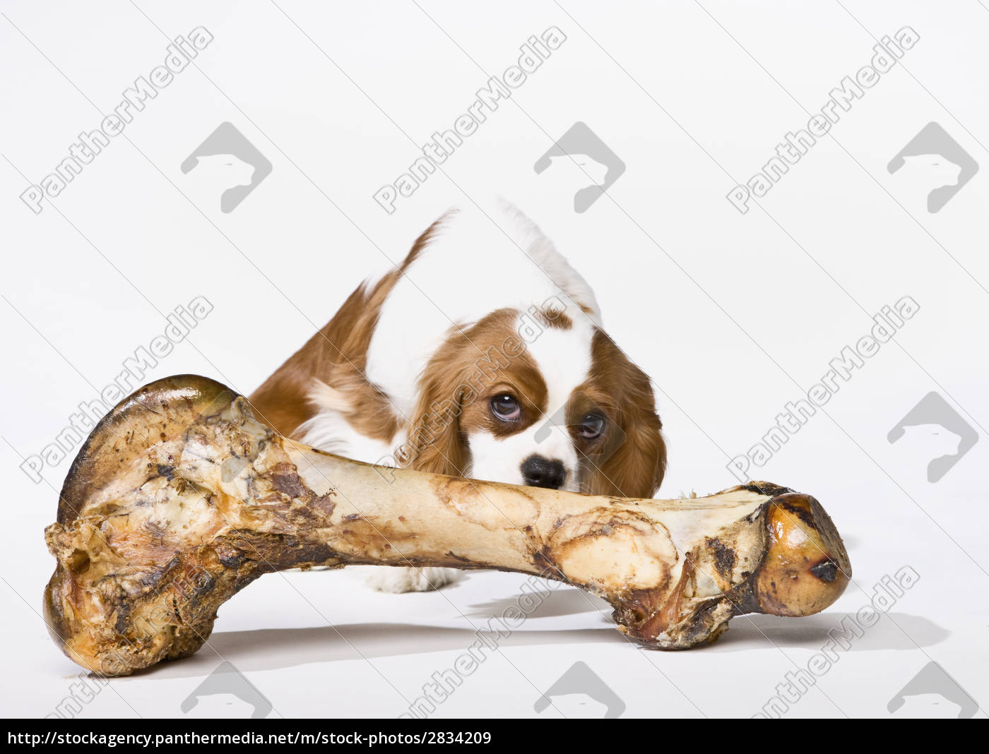 puppy, with, large, bone - 2834209