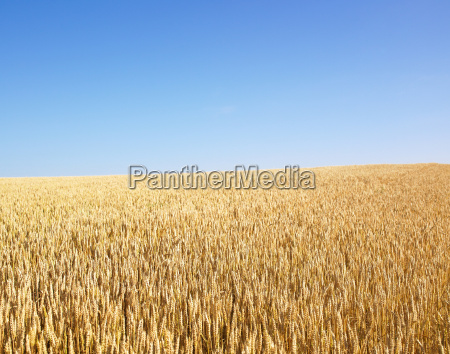 wheat, field - 2838521