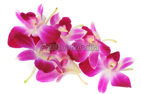 pink, orchids - 2845865