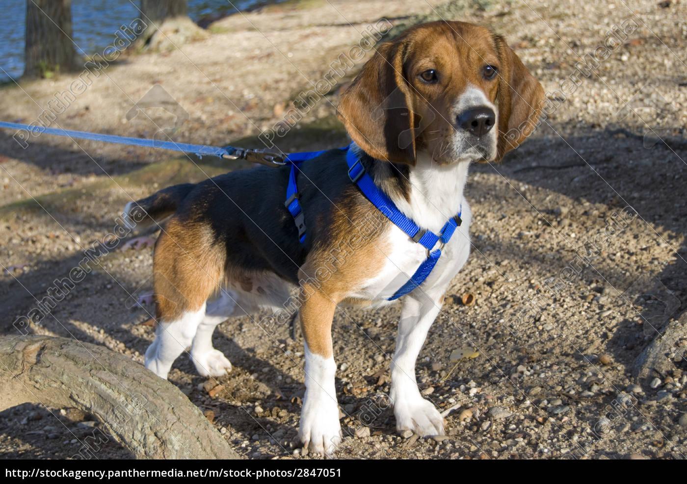 alert, beagle - 2847051