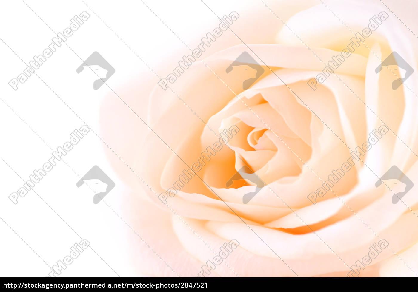 delicate, beige, rose - 2847521
