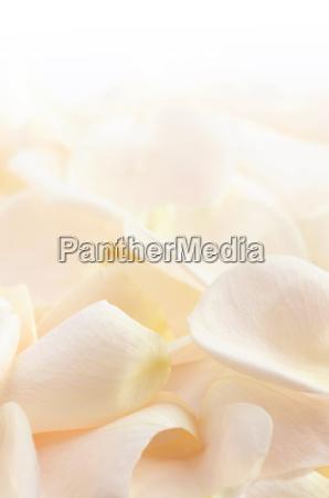 rose, petals - 2847529