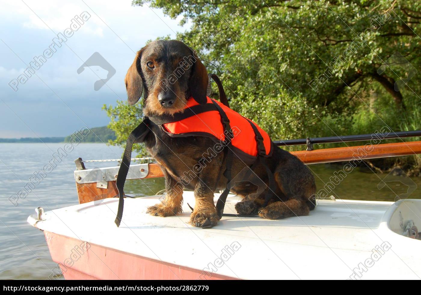 dachshund, with, lifejacket, 3 - 2862779