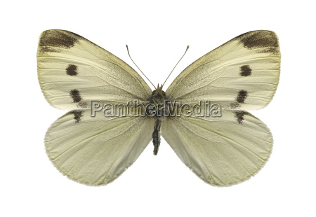 cabbage, white, butterfly, isolated, on, a - 2866725