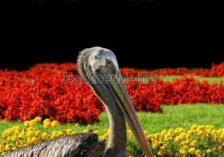 pelikan before black red yellow